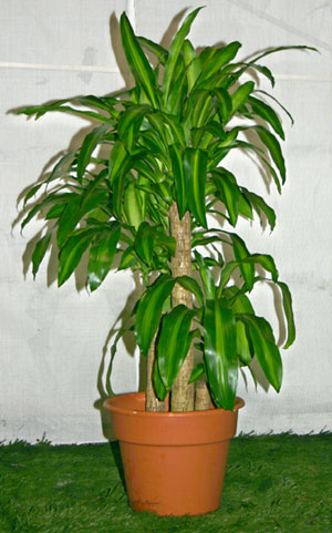 Recommendations for tall indoor tree? - houseplants tall | Ask MetaFilter